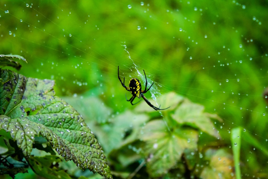 An orb spider in the bushes at Whole Village.